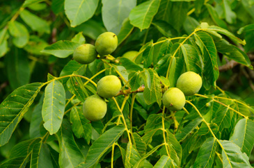 Walnuts Mid-season