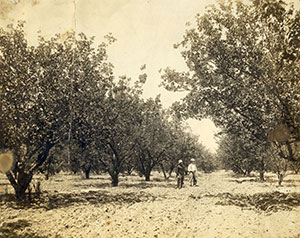 Walnut orchard in the 1930s