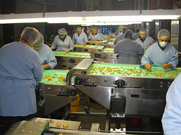 Employees sorting walnuts
